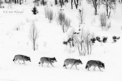 The Wolf Pack (Mrscurlyhead) Tags: wild blackandwhite bw nature animal animals canon blackwhite wolf wolves wolfpack canoneos60d