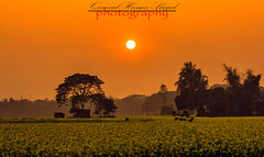 Yellow Mustered (Shajal1) Tags: life flowers sunset red sky sun black flower color reflection tree green nature beautiful beauty field birds yellow canon wonderful lens landscape eos golden evening leaf amazing nice colorful dof village shot samsung 55mm disk excellent hassan lovely 75mm mustered yelloow supershot i7 70mm300mm canon60d shajal blinkagain gettyimagesbangladeshq12012 qamrul