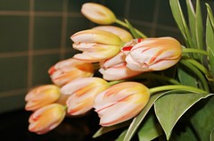 Spring Bouquet Curtsy (bigbrowneyez) Tags: flowers beautiful design petals spring pretty pattern dof tulips bright stripes blossoms fresh stems bouquet blooms fiori belli curtsy delightful bellissimi springbouquet prettypetals springbouquetcurtsy