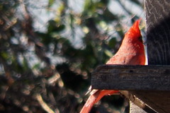 Eatin and spinning around (larowe10 (Linnsey)) Tags: birds cardinal cardinals flickers wildbirds commonbirds
