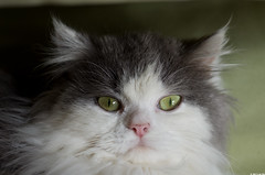 Heika (Le No) Tags: cat chat britishlonghair
