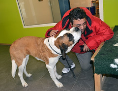 Foundation Barry du Grand Saint Bernard (isabelavistue) Tags: dog co swiss foundation suia barry saintbernard martigny sobernardo bernardodementon