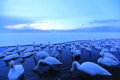 dusk.  (cate) Tags: lake snow ice swan twilight scenery hokkaido dusk ngc