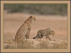 Trepidation! (Rainbirder) Tags: kenya cheetah amboseli acinonyxjubatus specanimal specanimalphotooftheday rainbirder