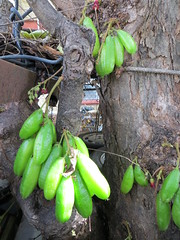 Fruits on Averrhoa bilimbi tree (Joel Abroad) Tags: food tree fruit hawaii honolulu sour ilokano pias starfruit averrhoabilimbi