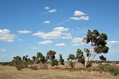 20130306_9380 Wind blown trees (williewonker) Tags: road landscape australia victoria stonewall griegs rockbank