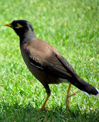The real Indian mynah (Deezee Aryan) Tags: indian mynah