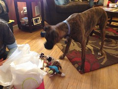Presents! (miia hebert) Tags: ferguson dogbirthdayparty uploaded:by=flickrmobile flickriosapp:filter=nofilter ferguson1year fergusonsbirthday