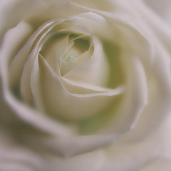 Cream Rose. (Yvette-) Tags: