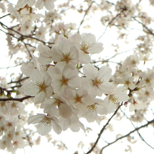 Cherry Blossoms_20130326155743