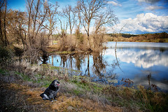 Obie at Outingdale Pond on a spring day (Sierra Springs Photography) Tags: dog spring pond pleasantvalley outingdale obietdogg