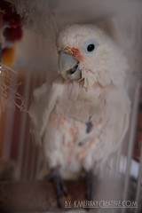 IMG_5326 (ReverieRevel) Tags: pet bird parrot boo cockatoo wetbird wetpet goffinscockatoo wetparrot