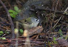 Canary Islands Kinglet (Regulus teneriffae) (macronyx) Tags: bird nature birds wildlife birding aves tenerife regulus birdwatching canaryislands vogel oiseaux fåglar kinglet canaryislandskinglet regulusteneriffae