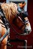 Belgian draft horse (brightstrangethings) Tags: horse belgian harness equestrian equine draft workhorse blinkers heavyhorse