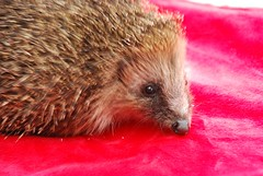 CNV00025 (vr6woman) Tags: hedgehog hedgie muchwenlock cuanhouse