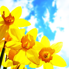 finally (fotobananas) Tags: park flowers liverpool canon spring daffodils finally calderstones s95 fotobananas