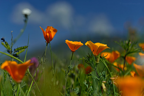 Poppies Delight