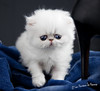 Les Persans de Fannie (Les Persans De Fannie) Tags: cats pets cat persian chats kitten chat bleu chinchilla talon animaux fannie chaton chatons chaussure persan