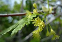 Acer glabrum var. douglasii (Thayne Tuason) Tags: maple acer aceraceae douglasmaple acerglabrum acerdouglasii acerglabrumvardouglasii