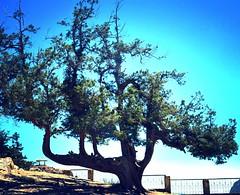 "Subhan Allah(A Jenipher tree in Ziarat taking the shape of word ""Allah"") (A Perfect Heart) Tags: blue pakistan 2 love nature clouds geotagged hope faith 7 pakistani aph zadu baluchistan aplusphoto aperfectheart nikond5200 umergmalik umergmyahoocom"