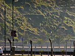 Trachycarpus Still in Winter Wrapping (Early April) Torquay (Torquay Palms) Tags: uk greatbritain trees england plants plant southwest tree english palms bay riviera unitedkingdom britain united great kingdom palm devon tor seafront torquay englishchannel torbay trachycarpus southdevon southwestuk englishriviera trachycarpusfortunei windmillpalm chusanpalm