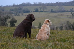 An evening in the field with Ralph and Bella... (lesya2014) Tags: ireland labrador chocolate wheatenterrier