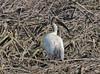 Th13_05307a (jerryoldenettel) Tags: bird thailand ibis whiteibis blackheadedibis threskiornismelanocephalus pelecaniformes threskiornis orientalwhiteibis threskiornithidae 2013 bangtaboon bangtaboonmarshes