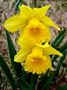 Daffodils (elalex2009) Tags: flowers flower daffodil daffodils towerhillbotanicgarden yellowdaffodil thebestyellow yellowyelloweverywhere