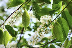 cherry of dilute ink -  (turntable00000) Tags: park flower japan cherry photography tokyo blossom sony  365 mitaka kichijoji   takashi nex   musashino  kitajima inokasshira turntable00000