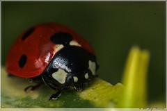 Ladybug. (Joop Rensema.) Tags: elementsorganizer
