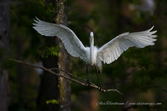 It's all a balancing act (alextbaum) Tags: trees bird birds wings branch wing egret greategret egrets greategrets cazan cazanlake lakecazan