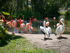 Sacramento zoo (Julien_V) Tags: california usa bird zoo flamingo pelican sacramento oiseau californie plican flamantrose