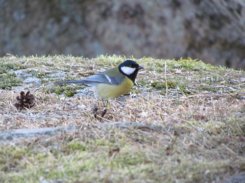 Kjøttmeis  (Parus major ) /    English: Great Tit