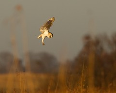 Barn Owl - Tyto alba (welshmanwandering1) Tags: england nature birds sunrise canon eos wildlife norfolk earlymorning birdsinflight owls birdsofprey barnowls wildbirds nicelight lserieslens canon1dmark3 howhillreserve