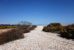 Shingle and gorse in Pagham Harbour (MAClarke21) Tags: england west beach nature landscape sussex coast spring harbour path south united shingle kingdom selsey pagham gorse 2013