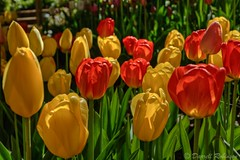 Enchanted Tulips (sierrasylvan) Tags: california flowers red foothills green yellow canon spring tulips blossoms sigma adobe buds blooms redtulips nevadacounty yellowtulips northsanjuan sierranevadafoothills canoneos50d anandavillage lightroom3 zeikos photomatixpro4 adobephotoshopcs5 adobebridgecs5 sigma1770mmf2845dcmacrolens zeikoscpl crystalhermitagegardens