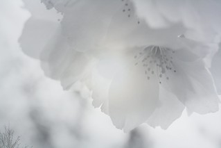 Emo blossom (113/365 2013) week 17
