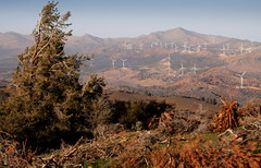 Wind blown tree and windfarm, PCT, CA (Damon Tighe) Tags: california ranch ca sky mountains windmill america river energy power pacific wind farm north crest trail backpacking electricity pct generation turbine tehachapi alternative windfarm turbines