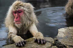 'Oh Yea' Face |  (francisling) Tags: leica snow japan monkey minolta wildlife sony  onsen alpha 90mm nagano jigokudani   nex  yamanouchi    nex5n