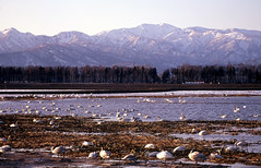 Heaven for birds (threepinner) Tags: lake snow bird japan spring swan hokkaido   migration hokkaidou bibai northernjapan