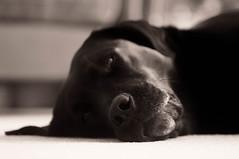 A Dogs Life (Chris Johnston Photography) Tags: pets dogs monochrome labrador sony buddy retriever tamron blacklabrador tamronsp90mm sonynex sonynex5n