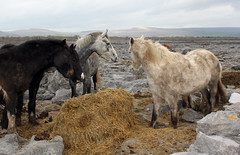 Ponies, hay and limestone: The Burren, Co. Clare. View on black (ronmcbride66) Tags: pony limestone burren ponies hay coclare coth supershot scenicsnotjustlandscapes alittlebeauty dragondaggerphoto sunrays5 beautiesbeasts