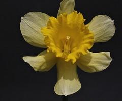 Narcis - Daffodil (hrunge) Tags: netherlands yellow blackbackground canon daylight daffodil geel narcis 2013 eos50d lensef100mmf28lmacroisusm hrunge