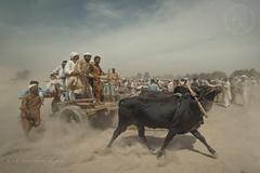 Dust (Hassan Rana ( HSN )) Tags: nikon d750 sky sunset sports action travel light summer clouds culture pakistan hassanrana bull cart