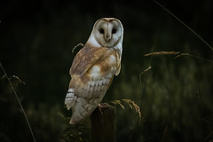 Atmospheric (jammo s) Tags: barnowl owl tytoalba wildowl bif birdofprey wildbarnowl barnowlportrait post perched dawn dark lightroom summer nature wildlife canoneos80d canonef400mmf56lusm