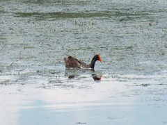 5 River Delta Alabama (89) (Stonehenge 68) Tags: 5riversdelta mobile delta wildlife alligator duck pelican water waterhyacinth hemlock snowyegret alabama