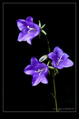 Campanule (B.D. Photographies) Tags: macro fleur d500 campanule