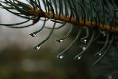 ckuchem-6009 (christine_kuchem) Tags: blaufichte fichte gegenlicht nadeln nahaufnahme regen regentropfen tropfen wasser wassertropfen romantisch
