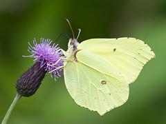 Brimstone Butterfly (sivaD nhoJ) Tags: butterfly pieridae brimstone lepidoptera insect invertebrate arthropod animal macro nature 2016 wildlife