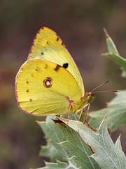 Berger's Clouded Yellow (chaz jackson) Tags: bergerscloudedyellow coliassareptensis pieridae butterfly insect macro macedonia